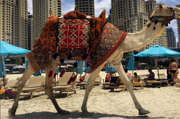 Airport camel